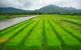 Green field of rice plant with water Stock Photo