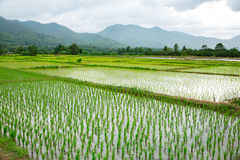 Green field of rice plant with water Royalty Free Stock Photography