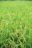 Green field of rice Stock Photo