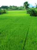 Green field of rice Royalty Free Stock Images