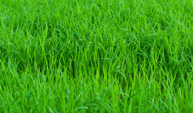 Green field Rice seedlings Royalty Free Stock Photography