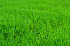 Green field Rice seedlings Stock Photography