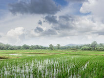 Green field of  rice sprout plant with blue sky Stock Photos