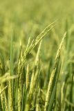 Green field with rice stalks in island Bali, Indonesia. Close up Stock Photos