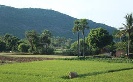 Green field of rice, trees and hills landscape Royalty Free Stock Photography