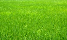 Green field and rice Stock Photo