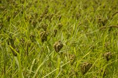 A green field of ripened cereal plants. agriculture stock images