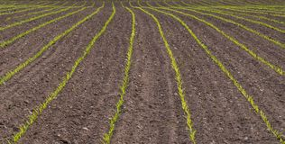 Green field rows of jung plants royalty free stock photography