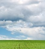 Green field of rye against the blue sky with clouds Royalty Free Stock Image