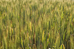 Green field of rye Royalty Free Stock Photo