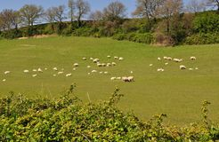 Green field and sheep Royalty Free Stock Photography