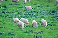 Green field with sheep Royalty Free Stock Image