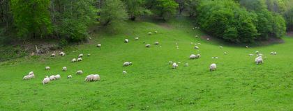 Green field, sheep grazing Royalty Free Stock Photo