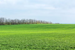 Green field with shoots of spring wheat. On a spring day Stock Photos