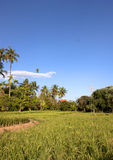 Mostly coconut fields. Royalty Free Stock Photos