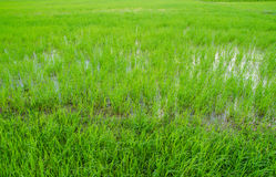 Green field in small farm. On holiday Royalty Free Stock Photo