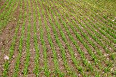 Green field with sprouted wheat Royalty Free Stock Photos