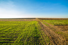 Green field of sprouting wheat. Royalty Free Stock Photography