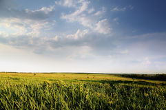 Green field of summer grass Royalty Free Stock Photography