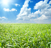 Green field and sun Stock Photography