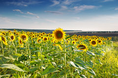 Green field, sunflowers, blue sky Royalty Free Stock Image