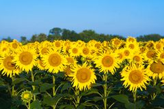 Green field of sunflowers and blue sky Royalty Free Stock Photos