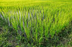Green field. Sunset on green field Stock Images