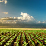 Green field on sunset. Agriculture green field on sunset Stock Image