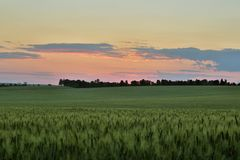 Green field after sunset in the evening. The green field after sunset in the evening Royalty Free Stock Images