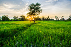 Green field. Sunset on green fields thailand Royalty Free Stock Images
