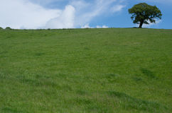 Green field and Tree of Life. A green field with blue sky and tree on skyline Stock Photography