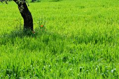 Green field and tree trunk. Vivid green field and tree trunk with some poppy flowers stock images