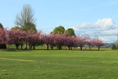 Green field with trees full of pink flowers Royalty Free Stock Photography