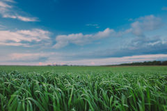 Green field under blue sky background Royalty Free Stock Image