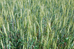 Green field of unripe wheat Stock Photos