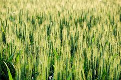 Green field of unripe wheat Stock Image