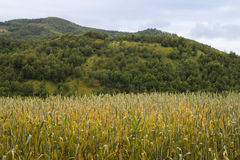 Green field of unripe wheat wooded hill in background Stock Photos