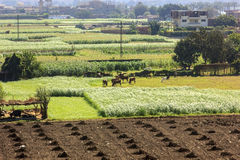 Green field in a village near ,Cairo Royalty Free Stock Image