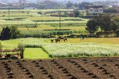 Green field in a village near ,Cairo. Green field in a village near Cairo, Egypt Royalty Free Stock Image