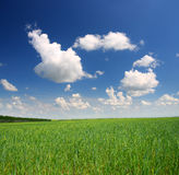 Green field with wheat Royalty Free Stock Photos
