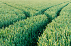 Green field of wheat. With marked ways stock images