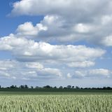 Green field of wheat Royalty Free Stock Image