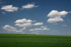 Green field wheat with blue cloudy sky Stock Image