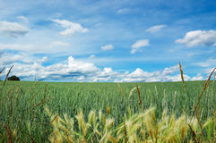 Green field of wheat with cloudy blue sky Royalty Free Stock Images