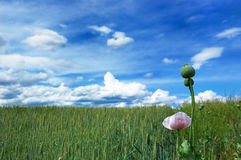 Green field of wheat with cloudy blue sky Royalty Free Stock Photography