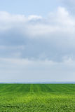 Green field with wheat grass against the sky Stock Image