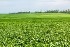 Green field with wheat grass. On a spring day. Selective focus Stock Photo