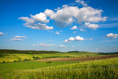 Green field of wheat growing on blue sky background Royalty Free Stock Photo