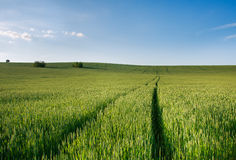 Green field of wheat growing on blue sky background Royalty Free Stock Images