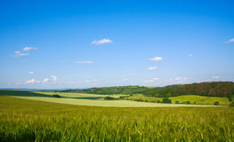 Green field of wheat growing on blue sky background Royalty Free Stock Image